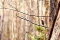 Hermit thrush (20308420260).jpg