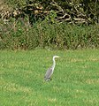 Heron near Eye Brook - geograph.org.uk - 538047.jpg