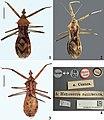 Heza pallidula (10.3897-zookeys.872.35137) Figures 1–4.jpg