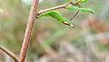 Hibbertia aspera hairy stem (15851805887).jpg
