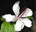 Hibiscus arnottianus subsp. punaluuensis (5113329560).jpg