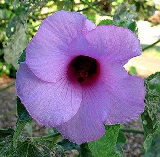 Hawaiian hibiscus - Image: Hibiscus furcellatus (5112678927)