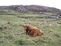 Highland cattle, Malin Head - geograph.org.uk - 1337730.jpg