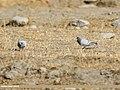 Hill Pigeon (Columba rupestris) (24609887218).jpg