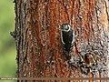 Himalayan Woodpecker (Dendrocopos himalayensis) (32158101796).jpg