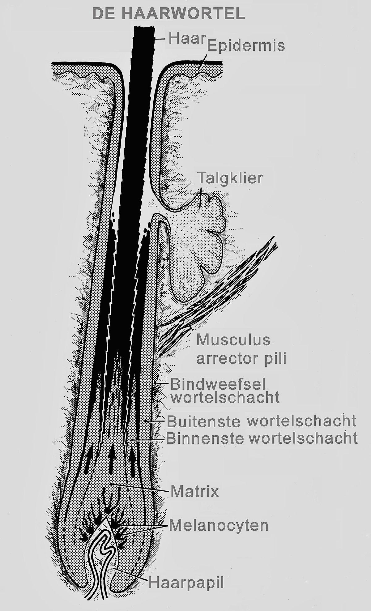 Fein Haar Anatomie Bilder Zeitgenössisch - Physiologie Von ...