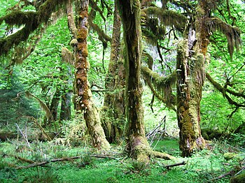 The Hoh National Rainforest, a temperate rainf...