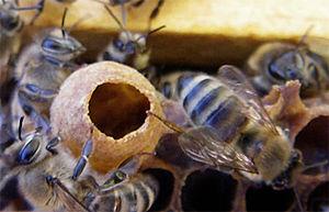 Swarming (honey bee) - Honey bee queen cup