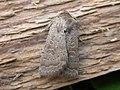 Hoplodrina blanda (2868937307).jpg