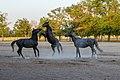 Horses (20127049929).jpg
