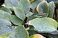 Hosta Blue Wedgewood 0zz.jpg