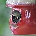House Wrens Fledging (4880005765).jpg