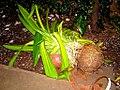 Houseplant, species unknown, damaged in storm, Burkina Faso, 2009.jpg