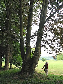 Acer Platanoides Wikipedia - Norway maple bark