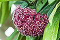 Hoya Flower.jpg