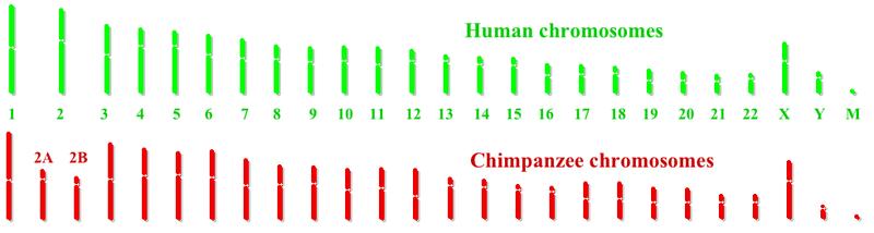 ملف:Humanchimpchromosomes.png
