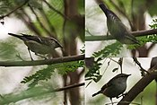 Hume's Warbler (Phylloscopus humei) at Delhi W.jpg