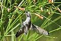 Hummingbird (27733452094).jpg