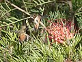 Hummingbird discussion at the Grevillea (34070172751).jpg