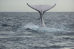 Humpback Whale diving.
