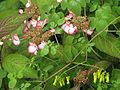 Hydrangea serrata Kiyosumi and Dactylicapnos - Flickr - peganum.jpg