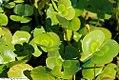 Hydrocotyle vulgaris 2zz.jpg