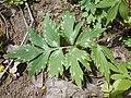 Hydrophyllum virginianum 2017-04-20 8214.jpg
