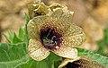 Hyoscyamus niger (henbane) (White Cap Mine, east of Keystone, Black Hills, South Dakota, USA) 6 (19788581306).jpg