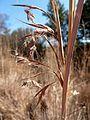Hyparrhenia hirta, bloeiwyse, a, Waterberg.jpg