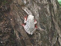 Hyperolius viridiflavus pantherinus.jpg
