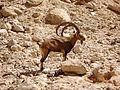 Ibex at Eyn Ovdat Nature Reserve - panoramio.jpg