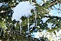 Ice stalactites and snow on tree 2.jpg