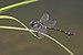 Ictinogomphus rapax-Kadavoor-2016-06-15-001.jpg