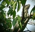 Iguana iguana (Green Iguana) - Flickr - S. Rae.jpg