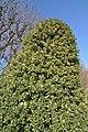 Ilex aquifolium aureomarginata in the Jardin des Plantes de Paris 002.JPG