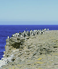 Imperial Shags on outcrop on Sea Lion Island