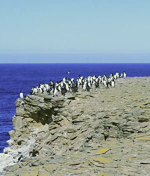 Sea Lion Island - Image: Imperial Shags on Clifftop
