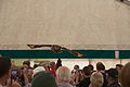 Indian Eagle Owl, Cheshire Game and Country Fair 2014 2.jpg