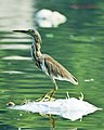 Indian Pond Heron 1 (6832861328).jpg