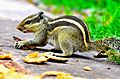 Indian squirrel having food.jpg