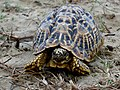 Indian star tortoise IMG 2640 01.jpg