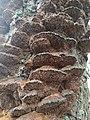 Inonotus radiatus 58692452.jpg