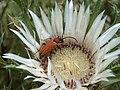 Insecte inconnu rouge sur chardon de montagne.jpg