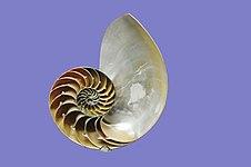 Inside Nautilus Pompilius.jpg