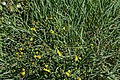 Inula spiraeifolia-Inule à feuilles de spirée-20160719 1.jpg