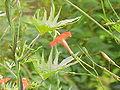Ipomoea x sloteri (I. coccinea x I. quamoclit)0.jpg
