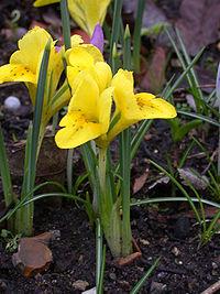 Iris danfordiae 20040207-0835-01