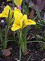 Iris danfordiae 20040207-0835-01.JPG