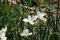 Iris sibirica 1zz.jpg