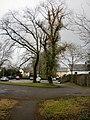 Ivy-clad tree, Llantarnam - geograph.org.uk - 1725666.jpg